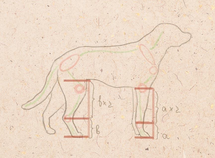 пропорции ног собаки